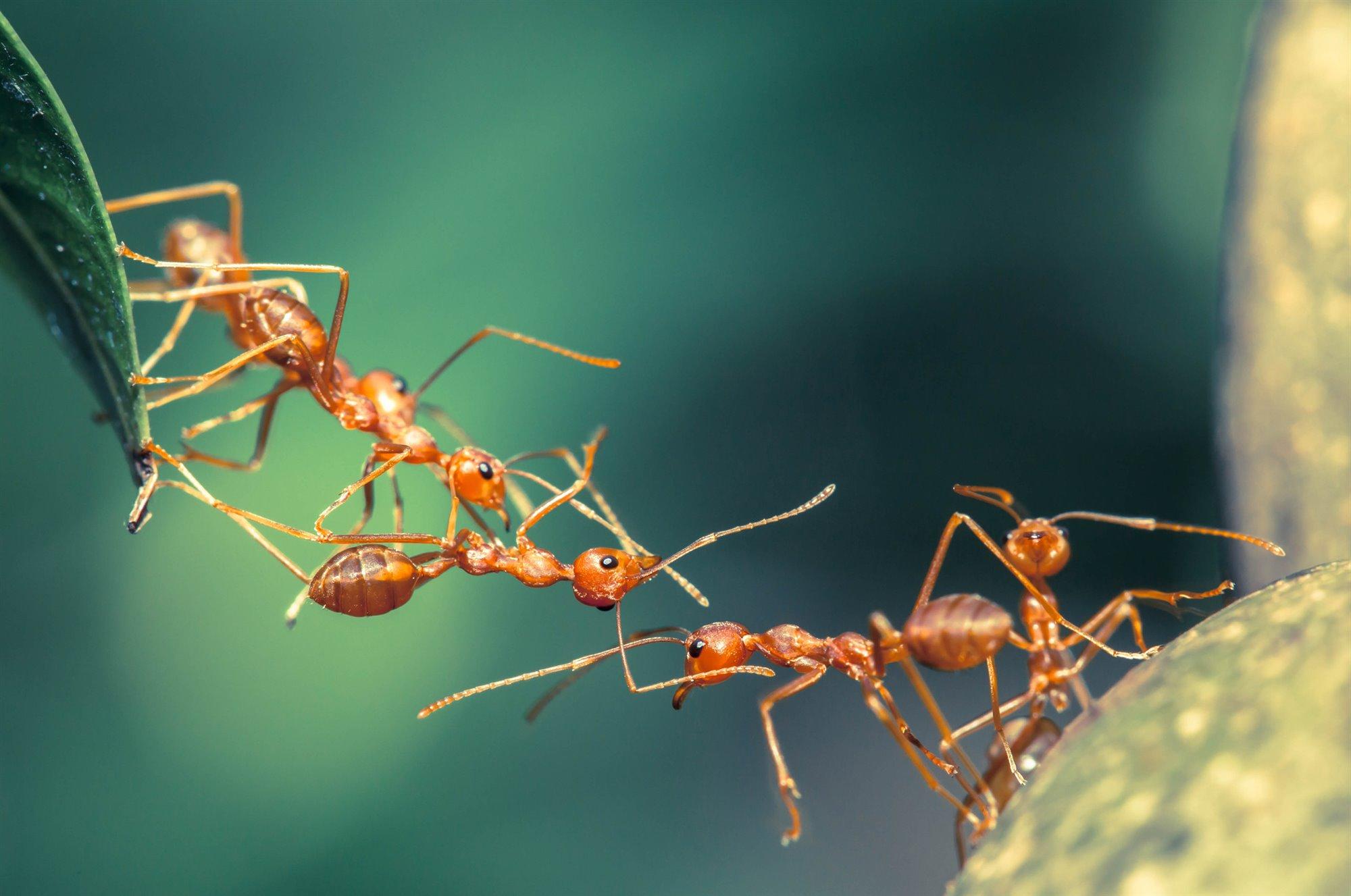 hormigas-tejedoras_5d09aacb