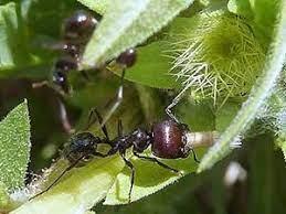 Las hormigas como indicadores del grado de restauración de una pradera |  Ciencia y Biología
